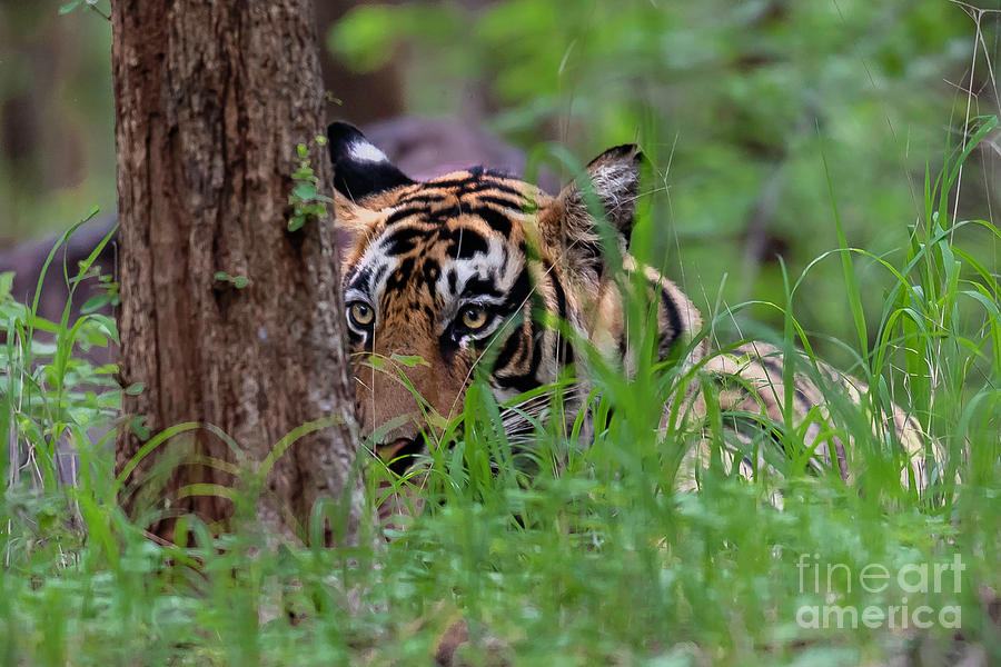 Tiger Photograph - Behind A Tree by Pravine Chester