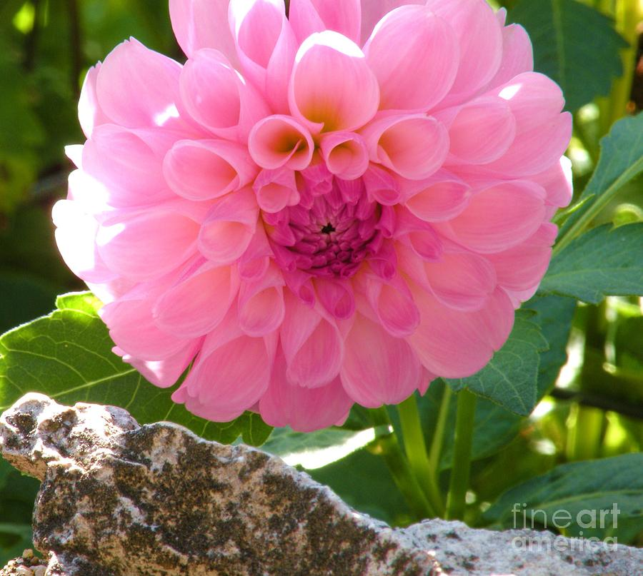 Floral Photograph - Behind The Rock Wall by Christine Belt
