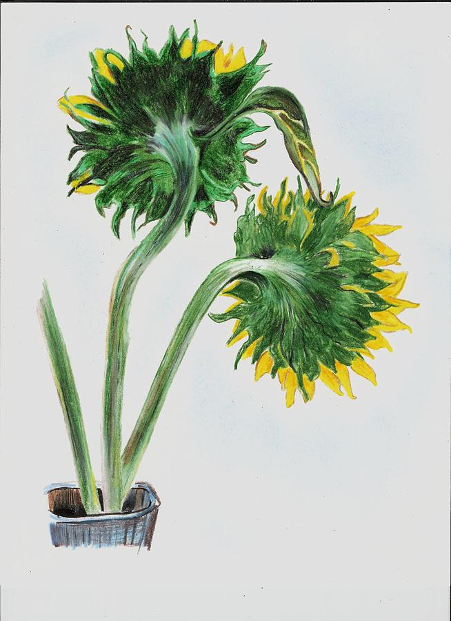 Sunflower Drawing - Behind The Sunflowers by Cheryl Shibley