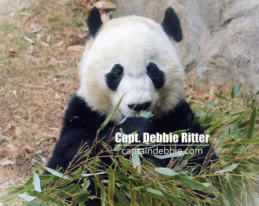 Panda Bear Photograph - Bei Bei 5762 by Captain Debbie Ritter