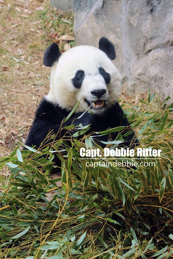 Panda Bear Photograph - Bei Bei 5767 by Captain Debbie Ritter