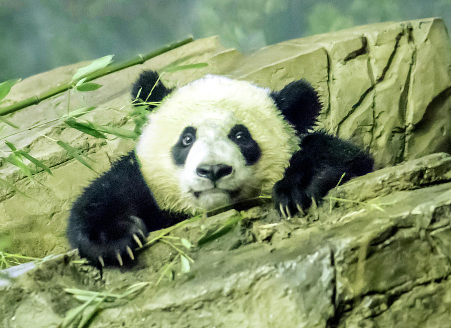Bei Bei Panda At One Year Old by William Bitman