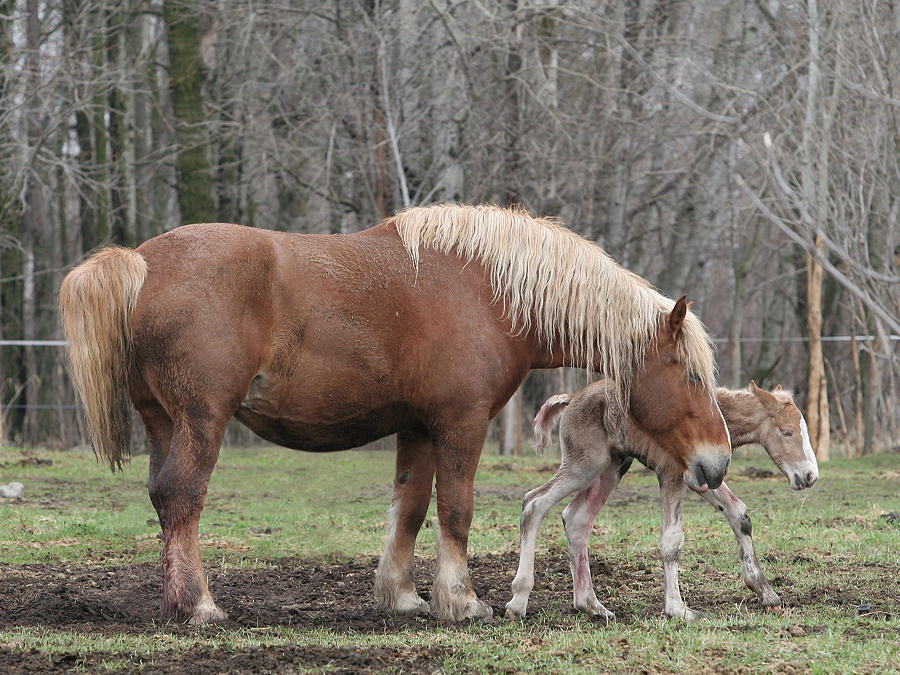 Belgian Horse Photograph - Belgian Foal First Steps by Laurie With