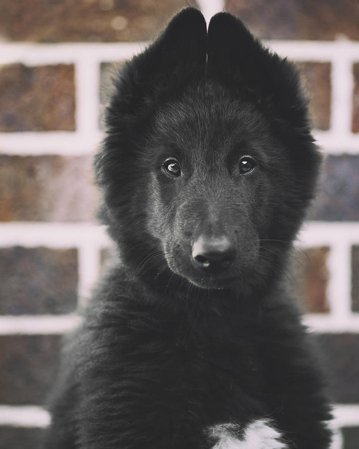 Belgian Sheepdog Puppy Portrait Photograph By Wolf Shadow