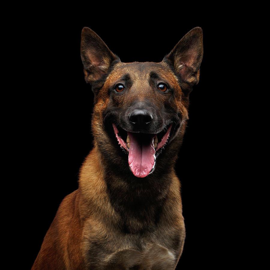 Dog Photograph - Belgian Shepherd Dog malinois by Sergey Taran