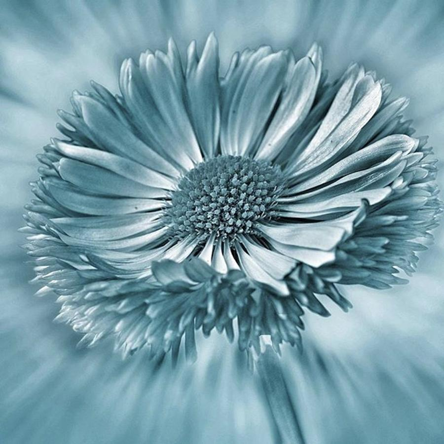 Beautiful Photograph - Bellis In Cyan  #flower #flowers by John Edwards