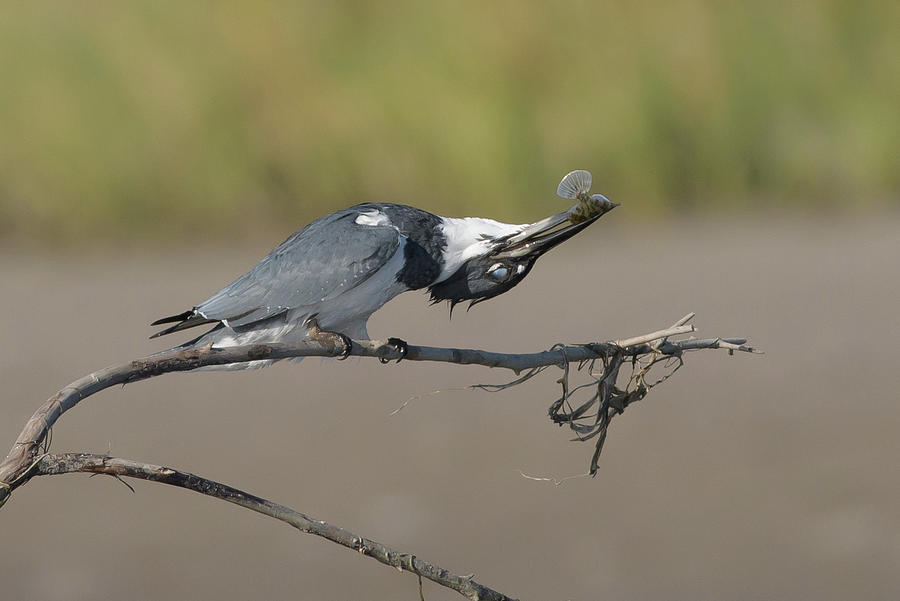 Belted Kingfisher Photograph - Belted Fish by Jim Gray