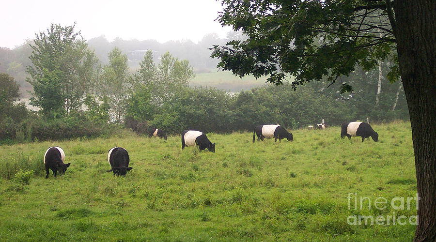Cows Photograph - Belted Galloways In Field by Linda Drown