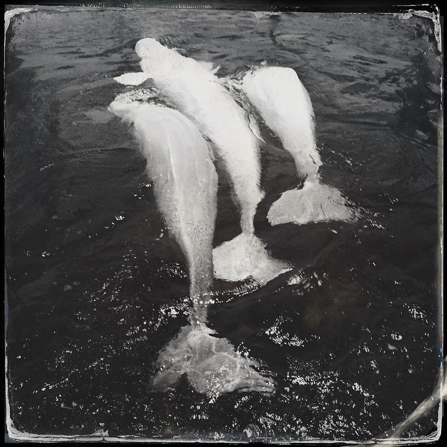 Beluga Trio Photograph