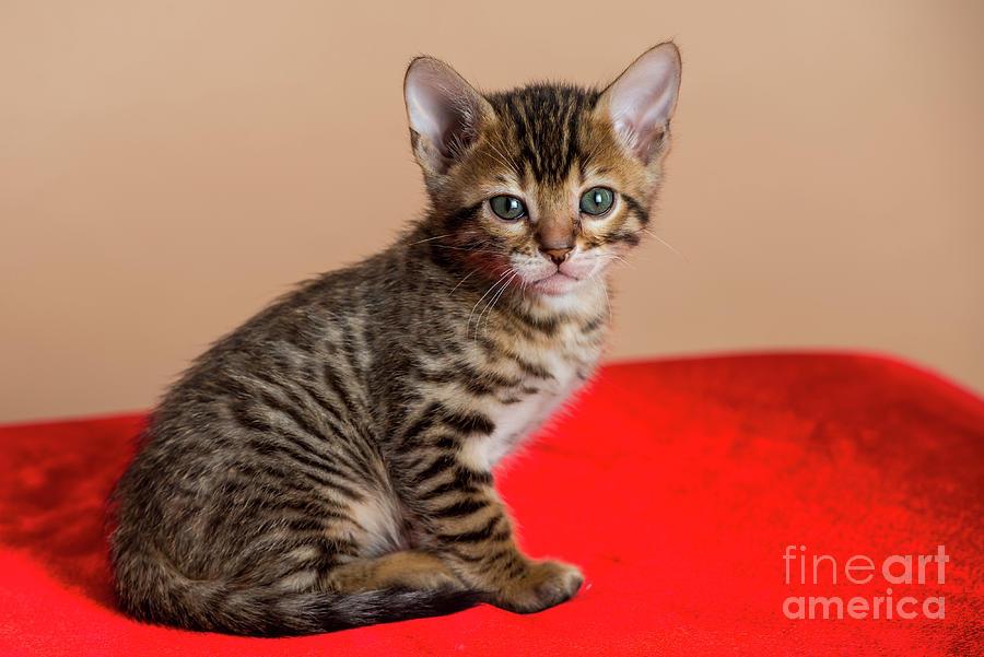 Bengal Kitten - 3 Photograph