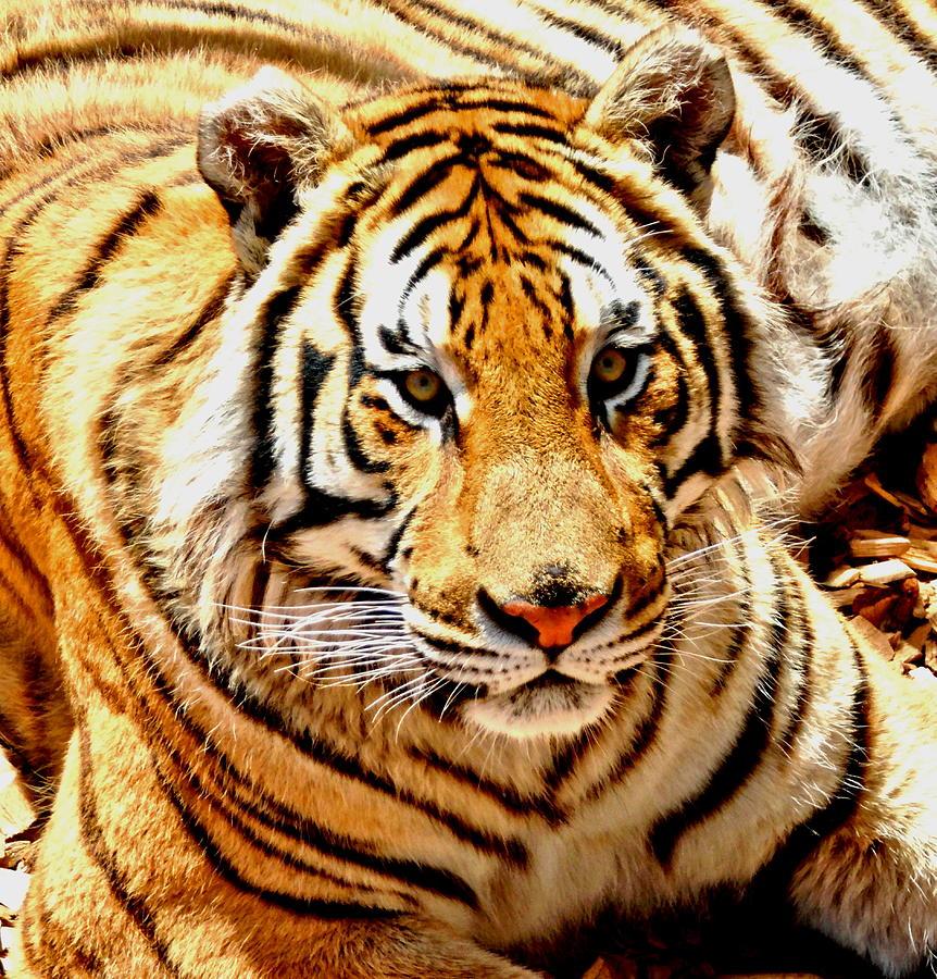 Bengal Tiger Photograph