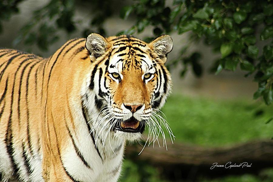 Bengal Tiger by Joann Copeland-Paul