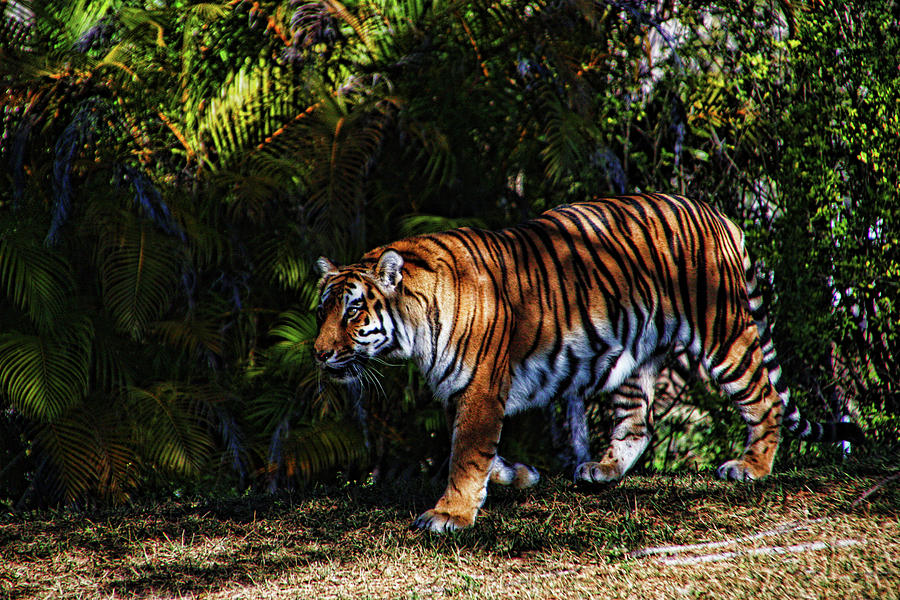 Bengal Tiger - RDW001072 by Dean Wittle