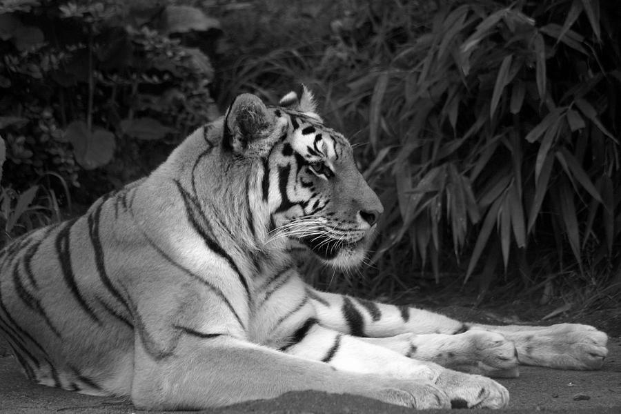 Zoo Photograph - Bengal Tiger by Sonja Anderson