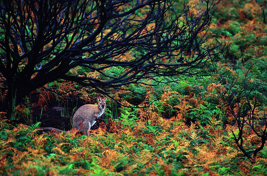 Marsupial Photograph - Bennets Wallaby by Sean Davey