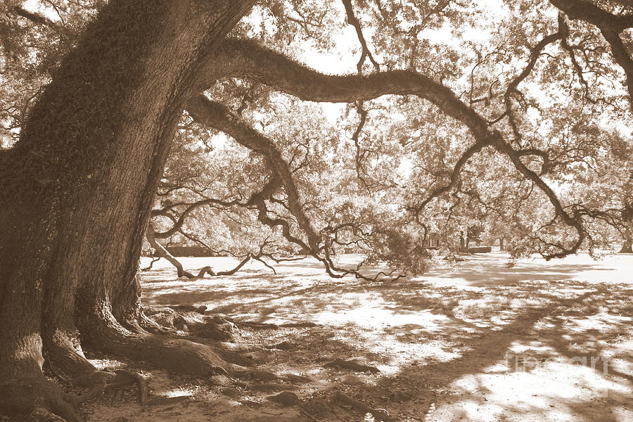 Live Oak Photograph - Bent Tree by Carol Groenen