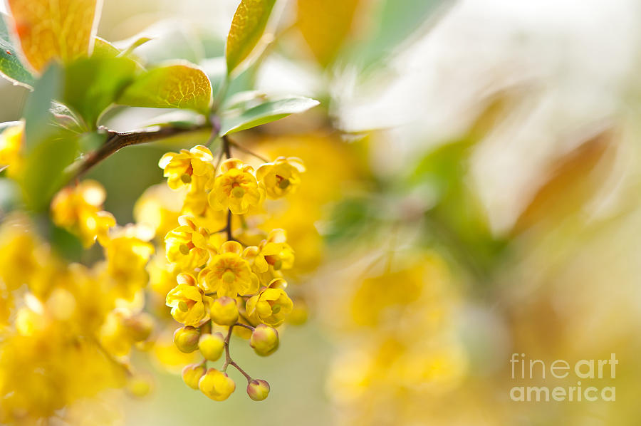 Berberis yellow flowering shrub detail by Arletta Cwalina