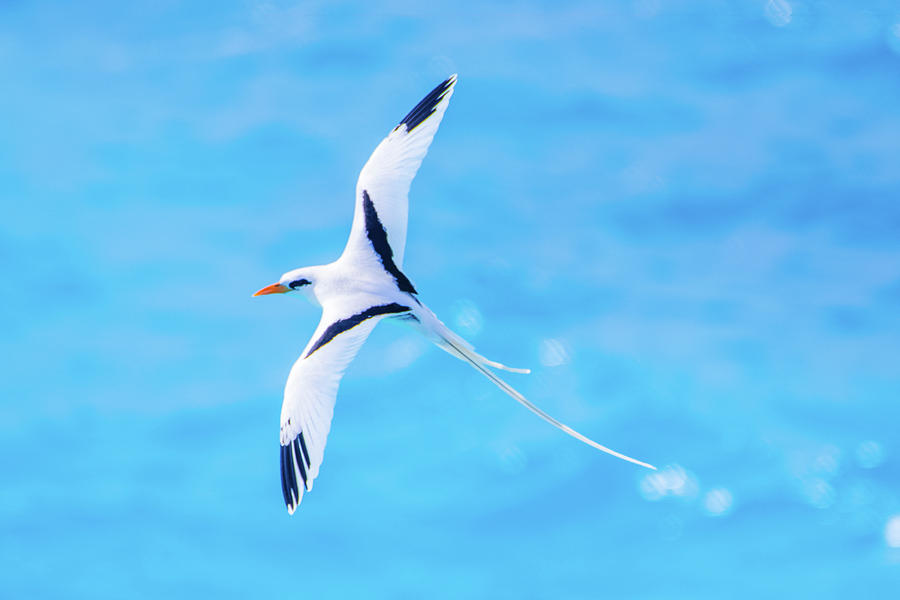 Bermuda Longtail Close-up by Jeff at JSJ Photography