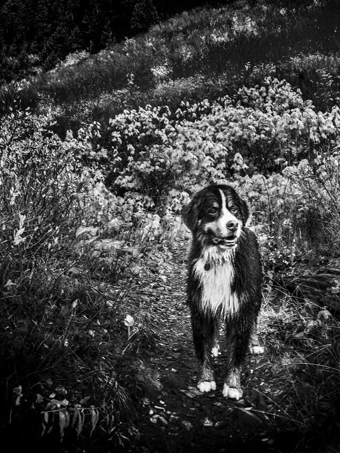 Bernese Mountain Dog Black And White Photograph by Pelo Blanco Photo