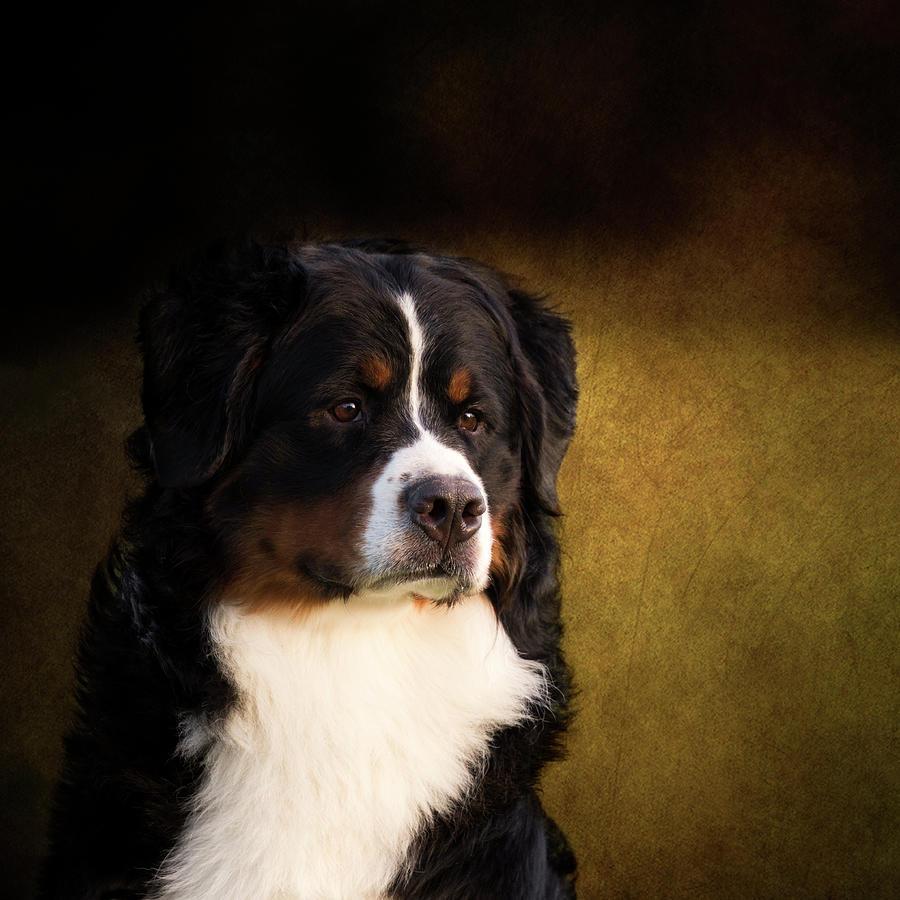 Bernese Photograph - Bernese Mountain Dog by Diana Andersen