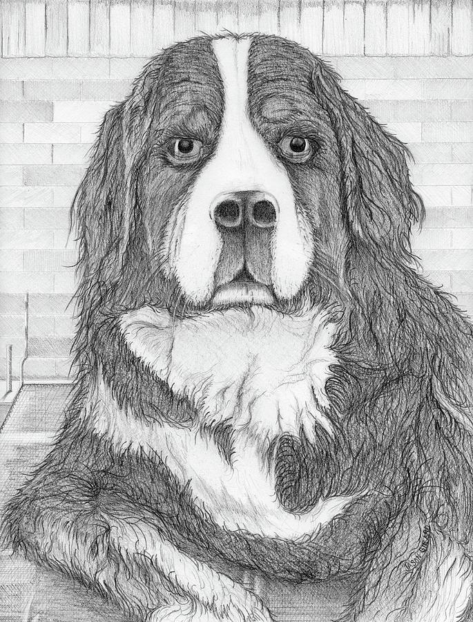 Dog Drawing - Bernese Mountain Dog  by Jason Girard