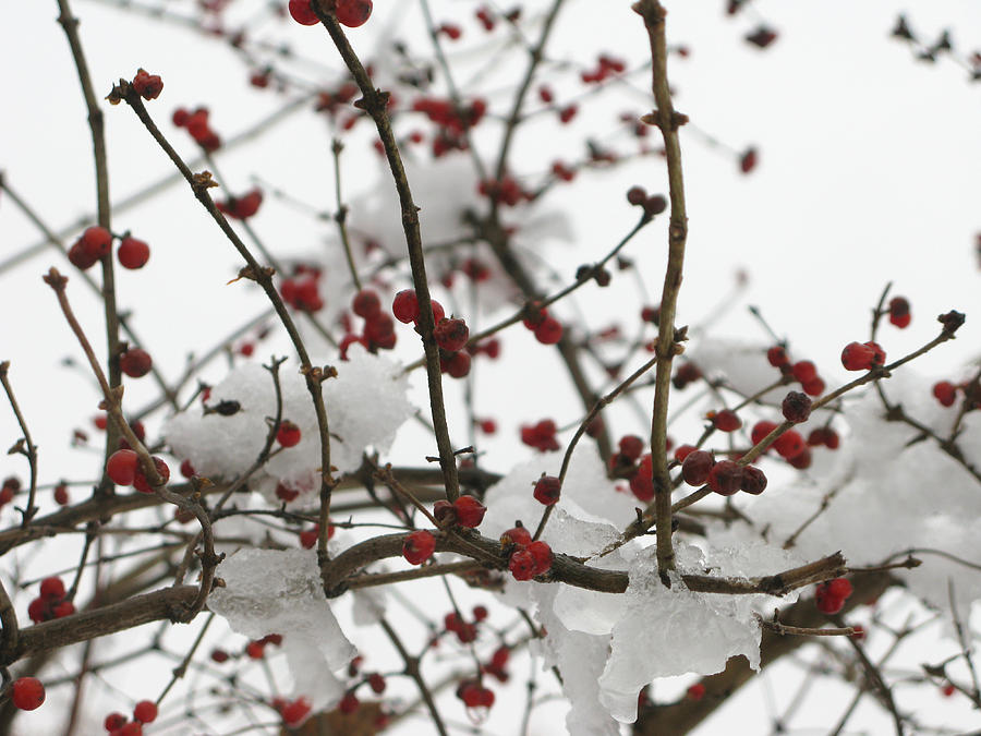 Berries Photograph - Berries In The Snow by Martie DAndrea