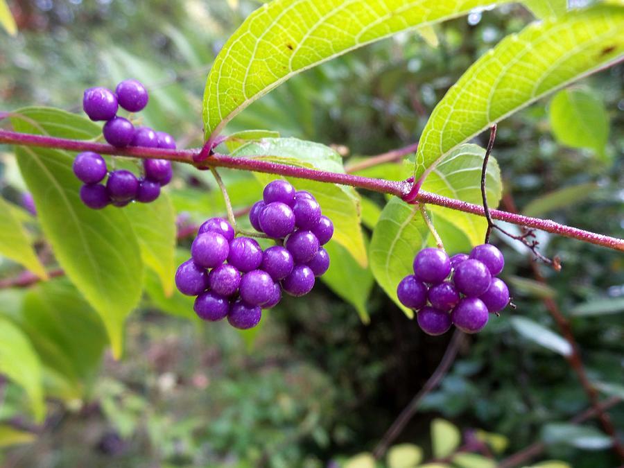 Berries Photograph - Berries by Rosie Brown