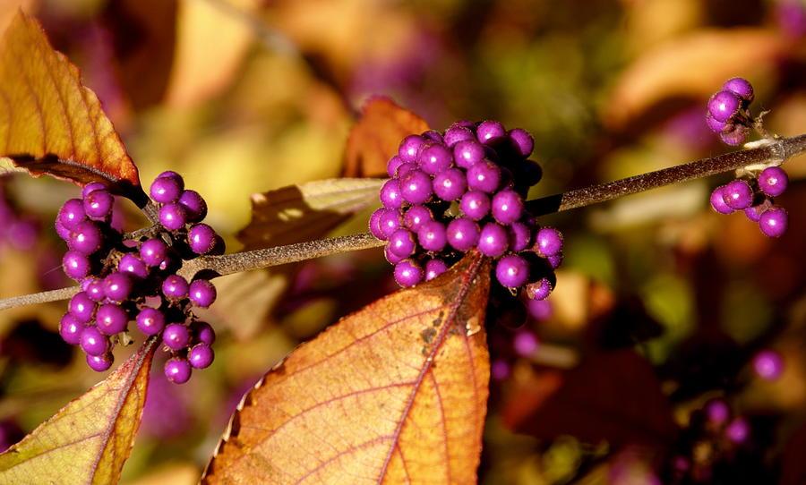 Botany Photograph - Berry Bush by Sonja Anderson