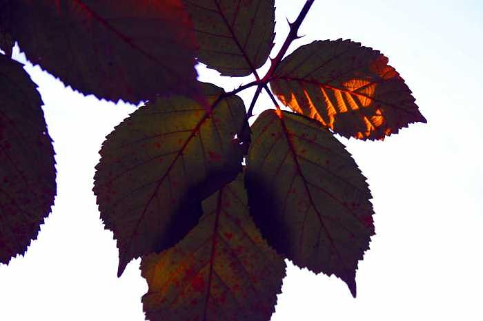 Leaves Photograph - Berry Leaves by Ofelia  Arreola