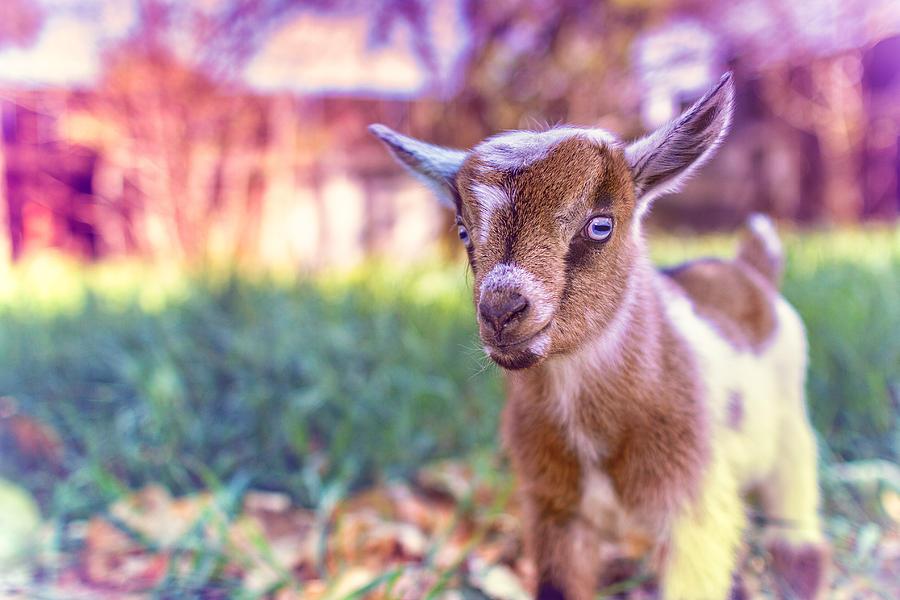 Goat Photograph - Bert by TC Morgan