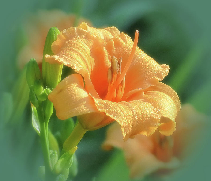 Bertie Blooms with Vignette - Daylily by MTBobbins Photography
