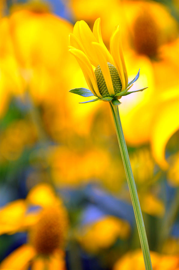 Yellow Flower Photograph - Best Bud by Caroline Reyes-Loughrey