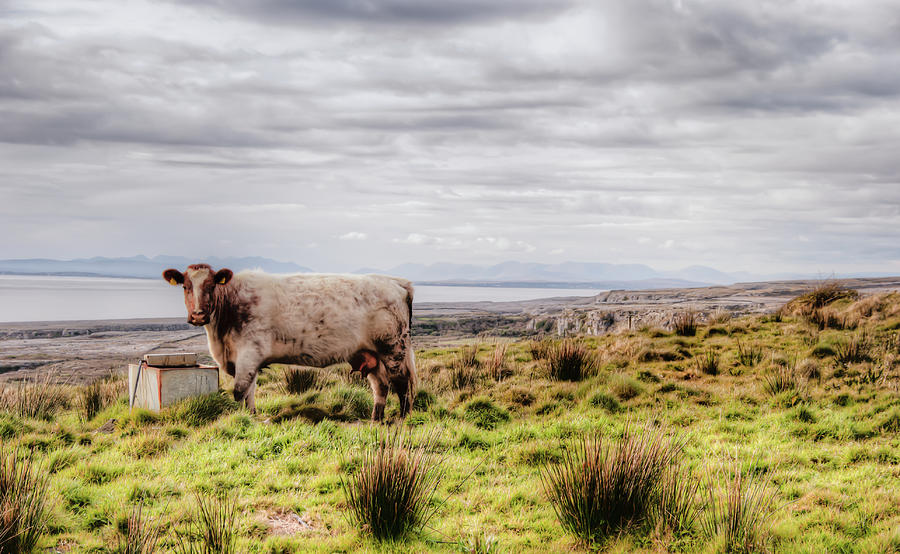 Ireland Photograph - Besty My Irish Cow by Natasha Bishop