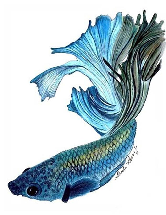 Betta fighting fish painting by sheila perry for Betta fish painting
