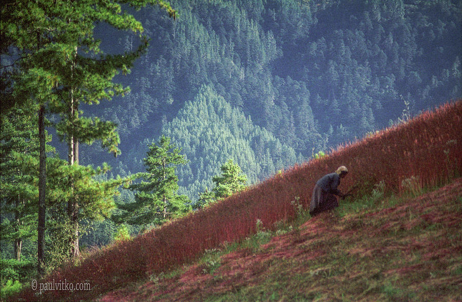 Bhutan buck wheat cutting by Paul Vitko