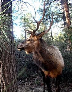 Bull Elk Photograph - Big Beautiful Bull  by Toni Blake