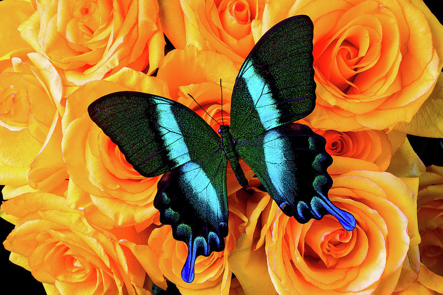 Rose Photograph - Big Beautiful Butterfly On Roses by Garry Gay