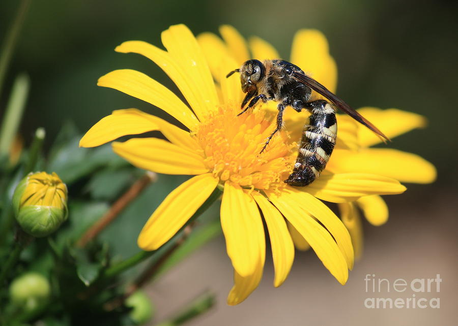 Bee Photograph - Big Bee On Yellow Daisy by Carol Groenen