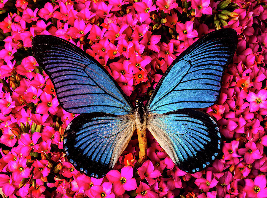 Flower Photograph - Big Blue Butterfly On Kalanchoe Flowers by Garry Gay
