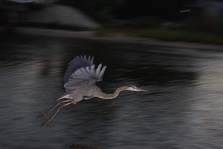 Bird Photograph - Big Blue Heron In Flight-debbie-may by Debbie May
