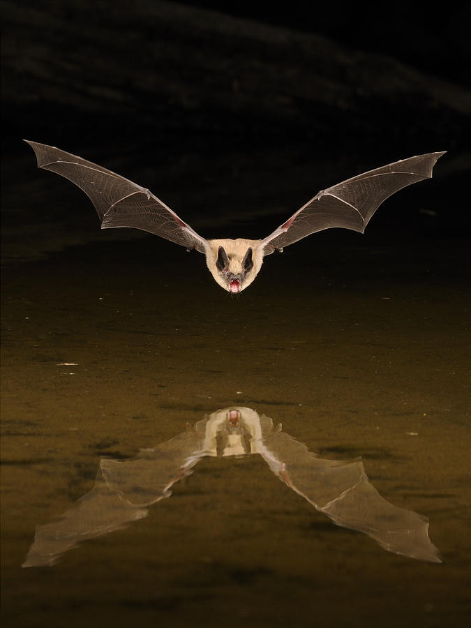 Big Photograph - Big Brown Bat Reflection by Scott  Linstead