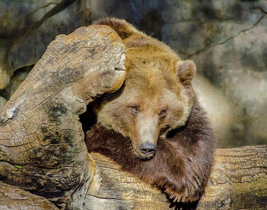 Brown Photograph - Big Brown Bear by Domingo Washington