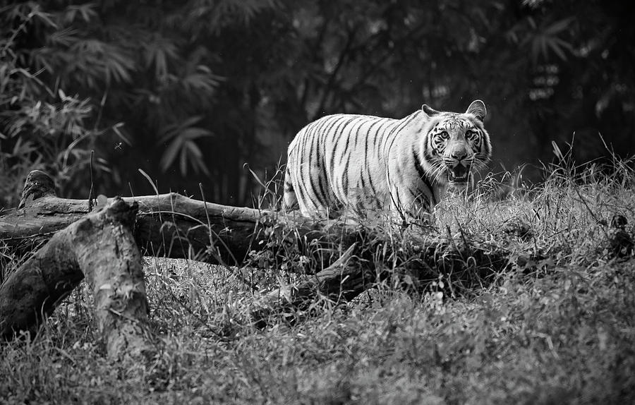 Tiger Photograph - Big Cat In The Woods by Pravine Chester