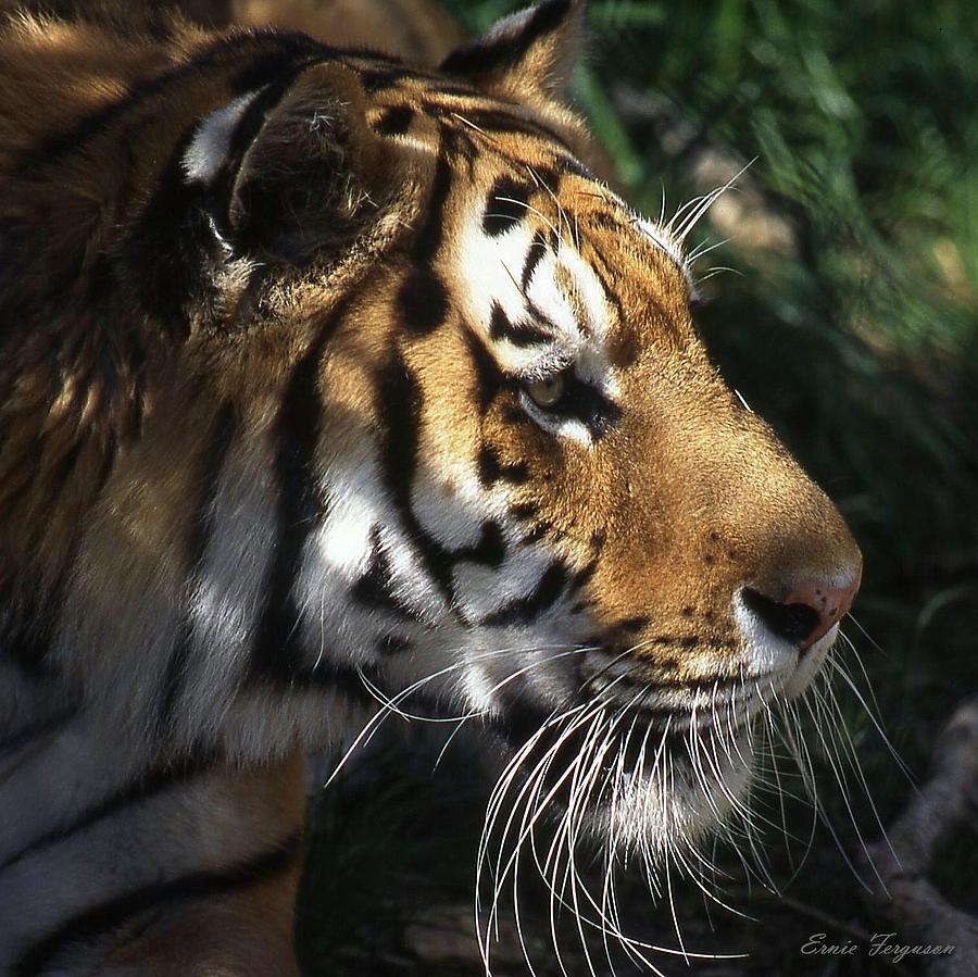 Animals Photograph - Big Cat No 60 by Ernie Ferguson