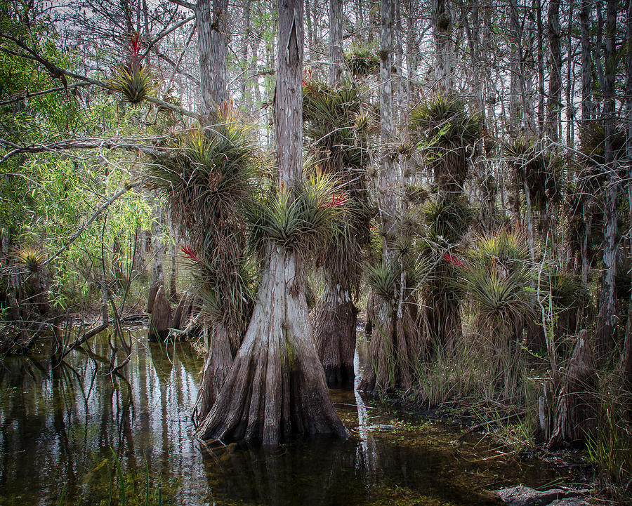 Everglades Photograph - Big Cypress Preserve by Bill Martin