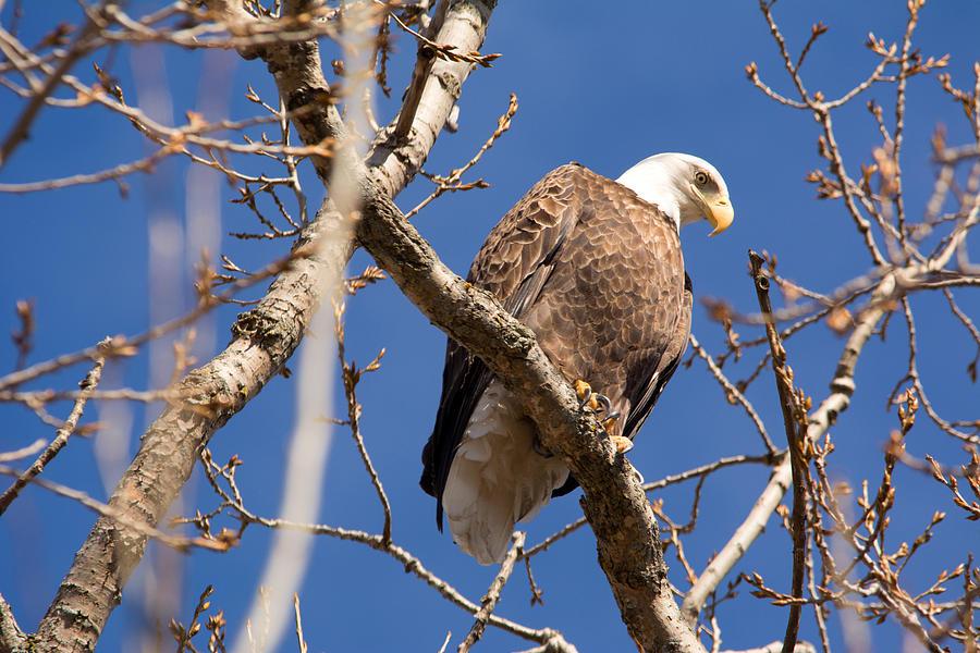 Big Eagle Photograph