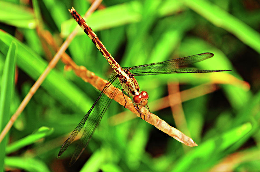 Dragonfly Photograph - Big Eyed Dragonfly by Randy Aveille