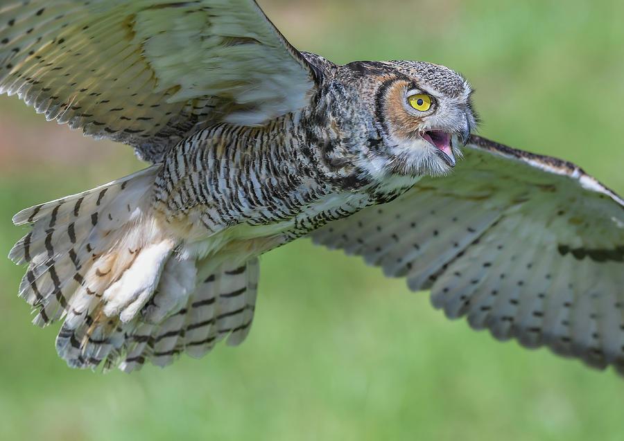 Owl Photograph - Big Eyes... by Ian Sempowski