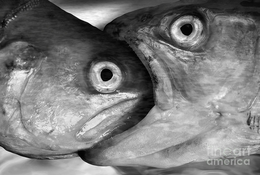 Fish Photograph - Big Fish Eat Small Fish by Michal Boubin