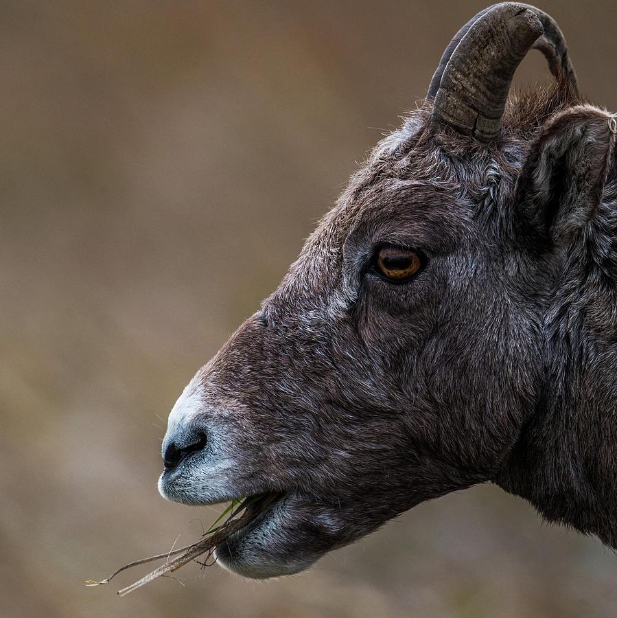 Big Photograph - Big Goat by Paul Freidlund